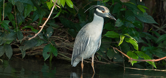Tortuguero Bird Watching Tour